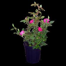 rose-bushesNEW