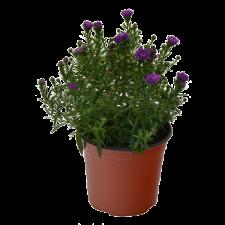 #1 Pot Perennial