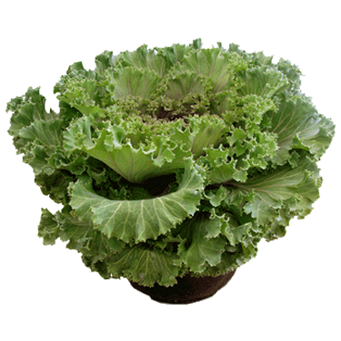 Luurtsema Sales Garden Center Wholesale Grower Supplier Fall Flowering Kale Midwest Greenhouse Grower