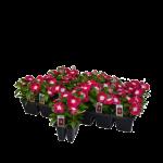 Annual Flats- 100 varieties & colors