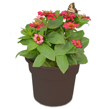 Zinnia Planter