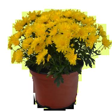 Hardy Garden Mum Pot