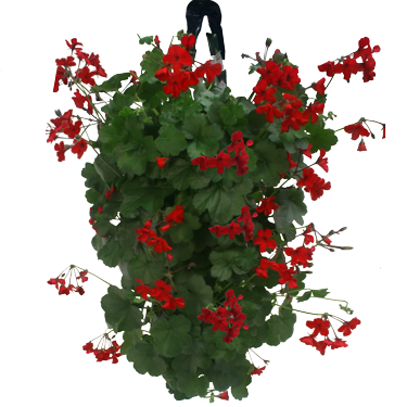 Flower pouch - How to care for ivy geranium ...