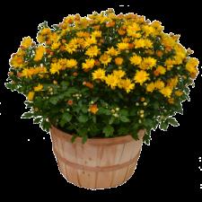 Harvest-Basket-Mum
