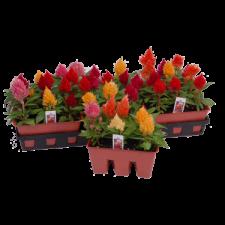 6/06 Bedding Plants 150 Varieties