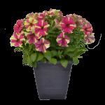 Designer Petunia Pot