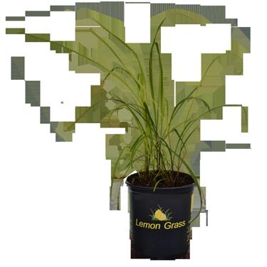 1 Pot Lemon Grass - Luurtsema Garden Center Solution