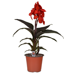 595-6-in-Canna-Red