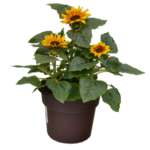 "10"" Sunflower Planter"