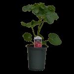 Special #1 Pot Hollyhock
