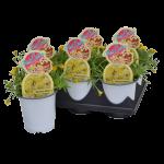 "3.25"" Hotcake Succulents"